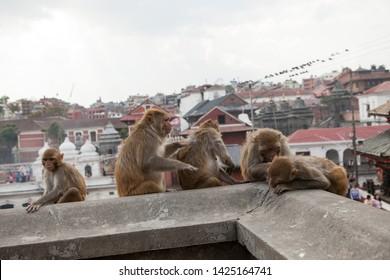 nepal katmandu monkey  pashupatinath hindu temple