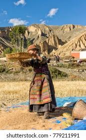 Nepal - Upper Mustang -  Harvesting wheat near Dhakmar village