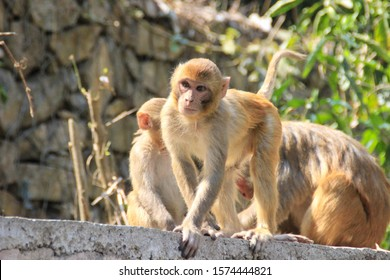 Nepalese monkeys at the sacred monkey temple in Kathmandu - Swayambhunath