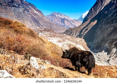 Nepalese Yak standing in the Langtang Valley. The background shows the Langtang village and the Tserko Ri mountain.