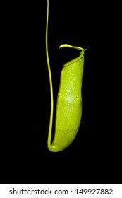 Nepenthes a carnivorous plant on in nature with black background