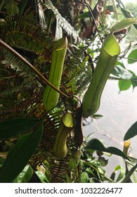 Nepenthes gracilis monkey pitcher growing in the wild forest in asia.