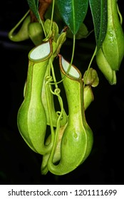 Nepenthes,  also known as tropical pitchers plants, is a genus of carnivorous plants.