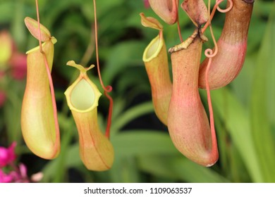 Nepenthes or tropical pitcher plants