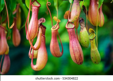 Nepenthes, Tropical pitcher plants and monkey cups