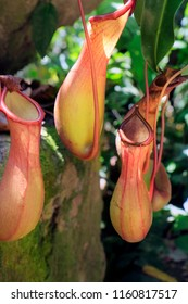 Nepenthes,carnivorous plants in the rain forest