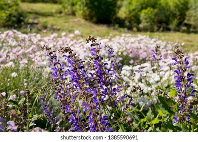 Nepeta grandiflora flower in the garden