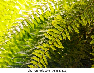 Nephrolepis exaltata (Boston fern, Sword fern,Bostoniensis) a species of fern in the family Lomariopsidaceae.Tropical plant for background.
