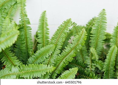 Nephrolepis exaltata - a species of fern in the family Lomariopsidaceae, fern