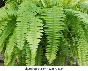 nephrolepis exaltata, the sword fern, boston fern
