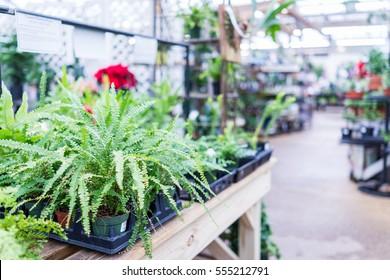 Nephrolepis exaltata, the sword fern, in plant nursery