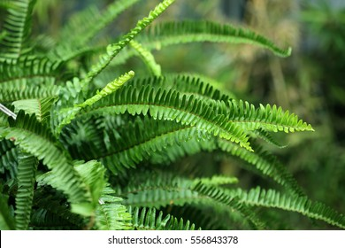 Nephrolepis exaltata (The Sword Fern) - a species of fern in the family Lomariopsidaceae