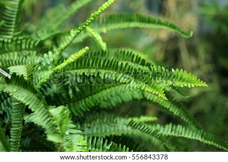 Nephrolepis exaltata The Sword
