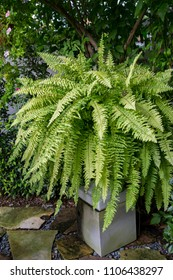 Nephrolepis exaltata Tiger Fern, Boston Fern, it is a plant with green leaves, freshly grown in pots for decorated in the garden or balcany.