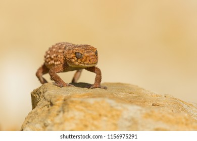 Nephrurus amyae, also known as the centralian rough knob-tailed gecko, is a species of gecko. It is the largest gecko in the genus Nephrurus, and like all species of Nephrurus is endemic to Australia.