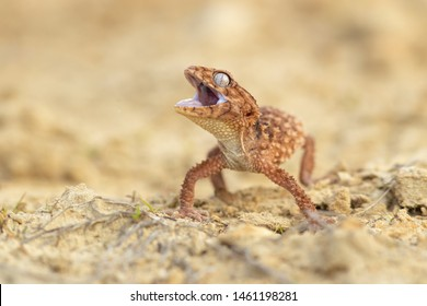 Nephrurus amyae, also known as the centralian rough knob-tailed gecko, is a species of gecko. It is the largest gecko in the genus Nephrurus