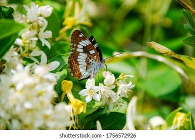 "Neptis pryeri. It is called ""Hoshi Misuji"" in Japan. beautiful butterfly."