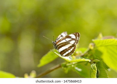 Neptis sappho the Pallas' sailer or common glider, is a nymphalid butterfly