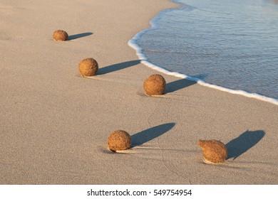 Neptune seaweed balls on the beach