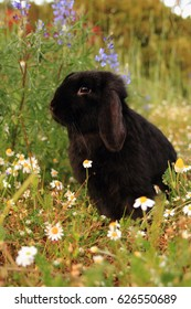 Nerino, the black funny lop rabbit on the spring meadow.