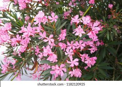 Nerium oleander pink flowers