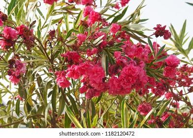 Nerium oleander red flowers