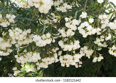 Nerium oleander white flowers