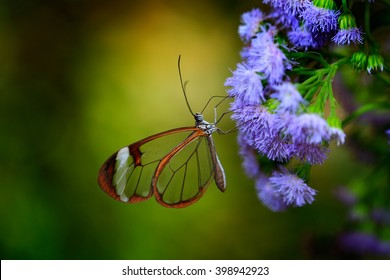 Nero Glasswing, Greta nero, transparent glass wings of butterfly on green leaves, scene from tropical forest, Costa Rica, beautiful insect in the green nature habitat.