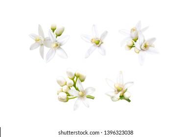 Neroli blossom. Orange tree white fragrant flowers and buds set isolated on white.