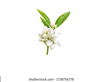Neroli brunch with white fragrant flowers, buds and leaves isolated on white. Orange tree blossom.