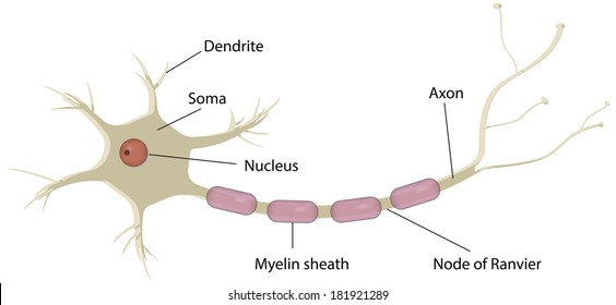 nerve cell neuron labeled diagram
