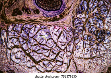 Nerve cells under the microscope