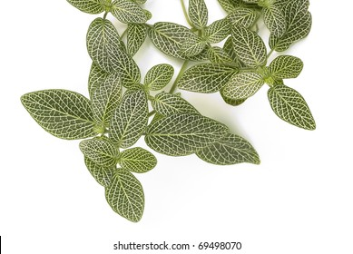 Nerve, Fitonia or Mosaic plant, over white background. Scientific name: Fittonia verschaffeltii, var. argyroneura
