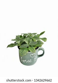 Nerve plant in ceramic cup isolated on white background. (Fittonia verschaffelti) ornamental and easy to grow.houseplant