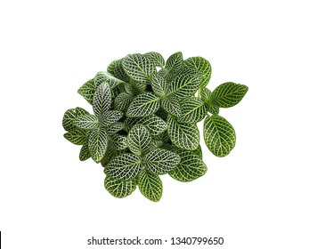 Nerve plant isolated on white background. (Fittonia verschaffelti)ornamental and easy to grow.houseplant
