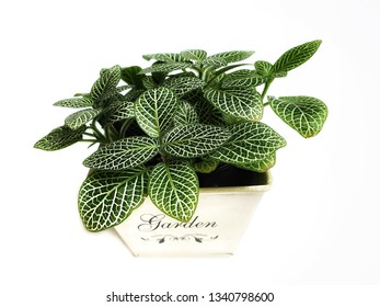 Nerve plant in pot isolated on white background. (Fittonia verschaffelti) ornamental and easy to grow.houseplant