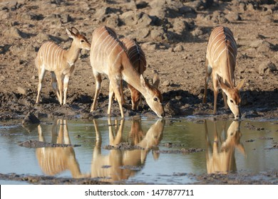 Nervous nyala group drinking water from calm water with sand in background