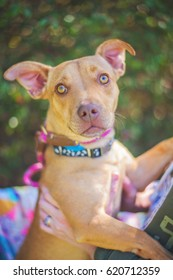 Nervous Pit Bull Mix in Shelter