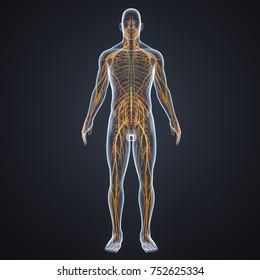 Nervous system with lymph nodes 3d illustration