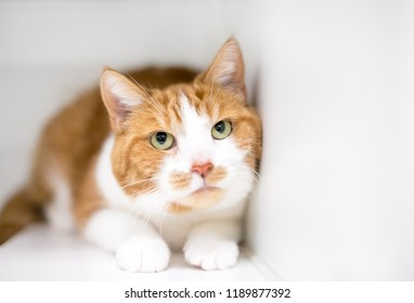 A nervous or timid domestic shorthair cat with orange tabby and white markings, crouching in a tense position