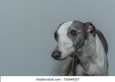 """The Nervous Whippet - """"I do not want my picture taken"""""""
