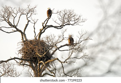 Nest of American bald eagles with eagles on nearby branches