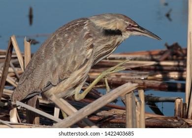 Nest of American Bittern in a lake