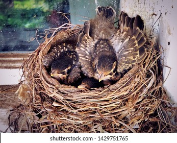 A nest of American robin new born babies sleeping in their nest in the early spring in New England Connecticut United States.