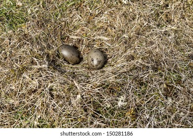 Nest of artic skua in the island Skuvoy