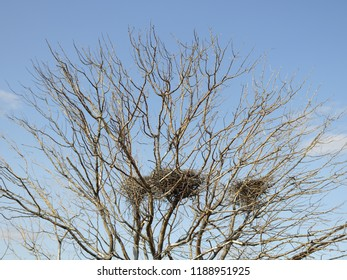 Nest of birds on a bare tree against the blue sky