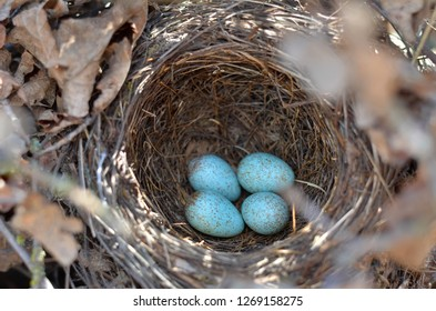 The nest of the Blackbird (Turdus Merula). Four turquoise speckled eggs in the nest of the Eurasian Blackbird in their natural habitat. Fauna of Ukraine. (Shallow depth of field, close-up).