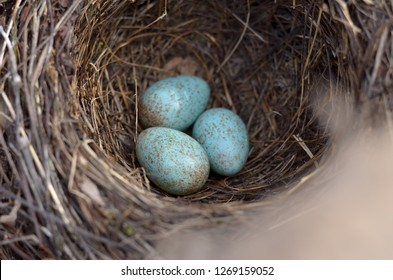 The nest of the Blackbird (Turdus Merula). Three turquoise speckled eggs in the nest of the Eurasian Blackbird in their natural habitat. Fauna of Ukraine. (Shallow depth of field, close-up).