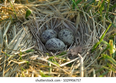 Nest of black-headed gulls with typical clutch of eggs. Three speckled eggs are in nest made of dry grass, weave a nest. Reproduction of birds, nestling bird