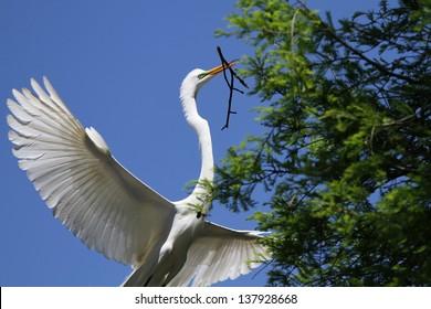 Nest Building Great Egret
